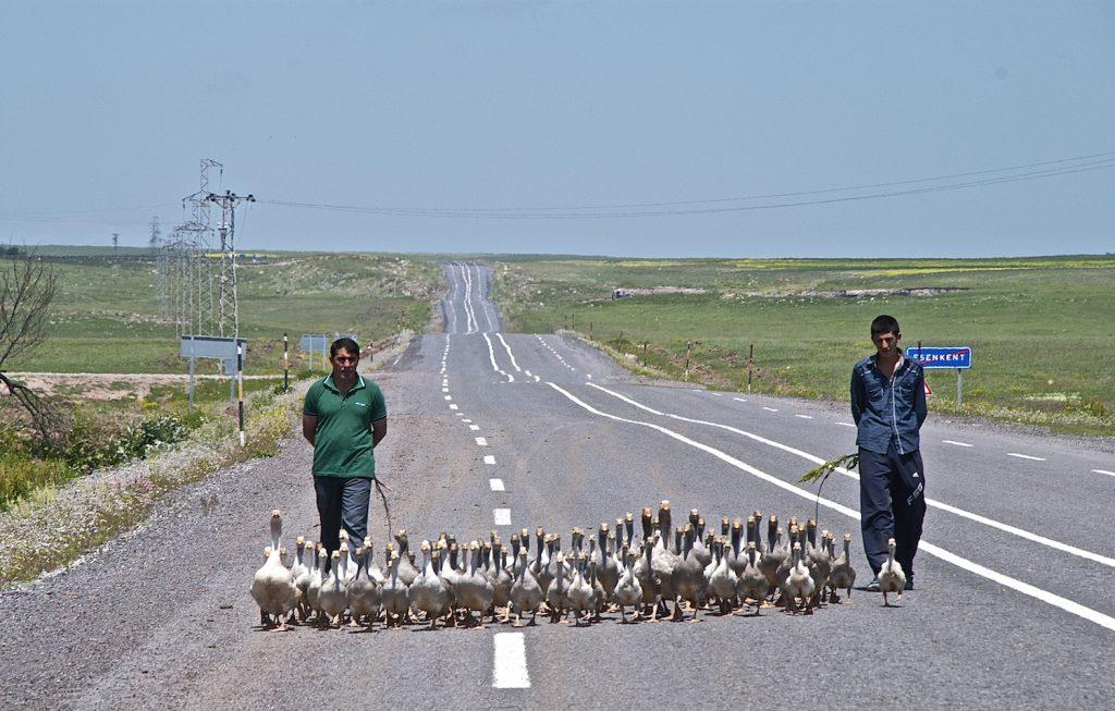 herding-geese