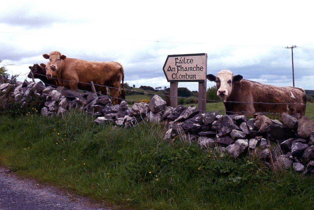 cows-looking-at-me