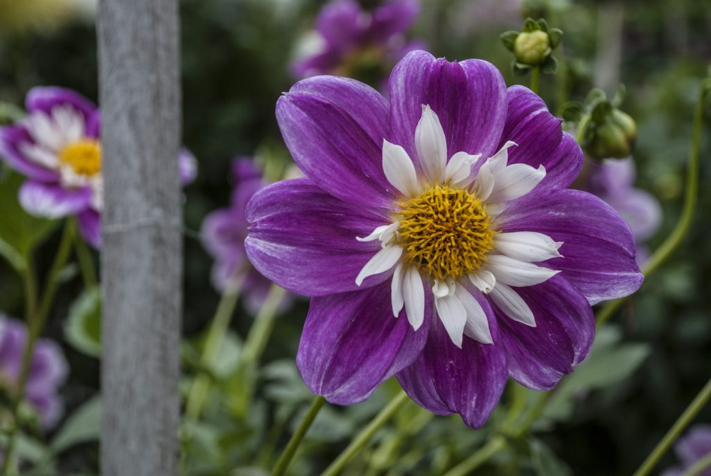 One of Many Dahlias