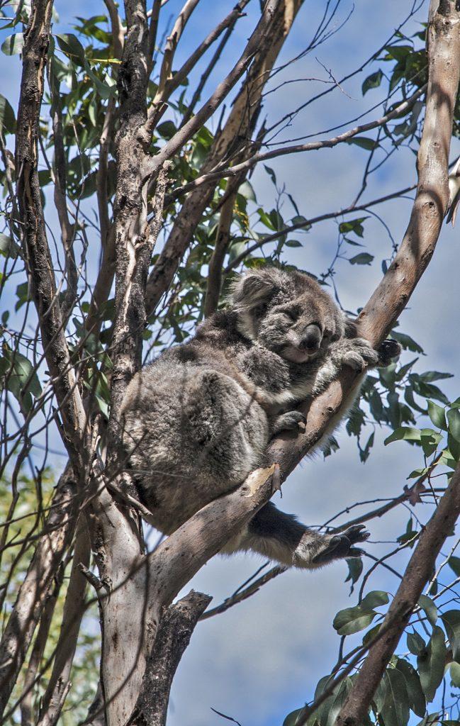A Koala at Kennett River