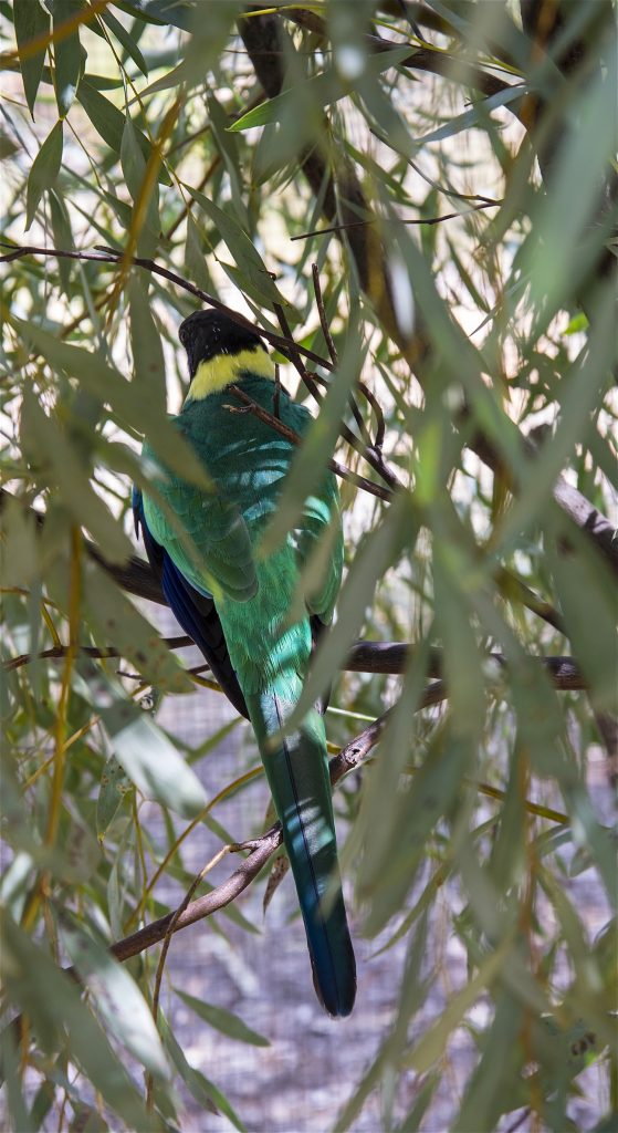 Ring-Necked Parrot